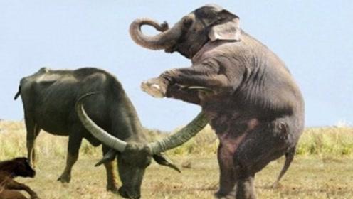 大象踢水牛一脚,下一秒大象一声惨叫,看水牛如何发飙