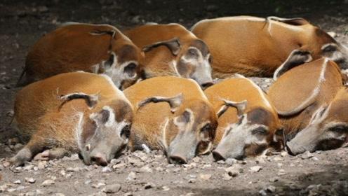 """非洲地区泛滥的""""红河猪"""",让农民苦不堪言,网友:我要去非洲!"""
