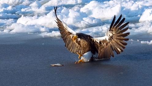 中俄边境发现大型猛禽,头部有虎斑叫声如虎啸,能从狐狸口中抢食
