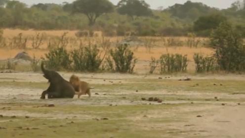 小象被狮子们抓住,还好仗义的野牛赶到救下小象,镜头记录全过程