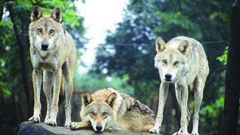 4匹野狼围攻落单麝香牛,难得一见的激烈搏杀!太精彩