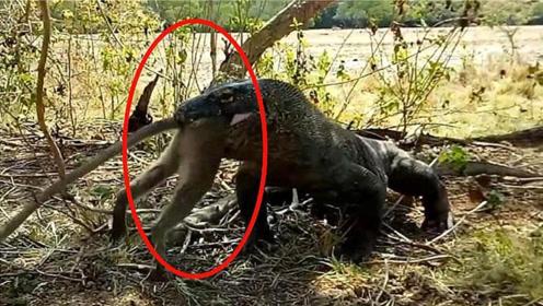 猴子偷吃科莫多巨蜥的蛋,竟被整个活吞,镜头记录惨烈过程!