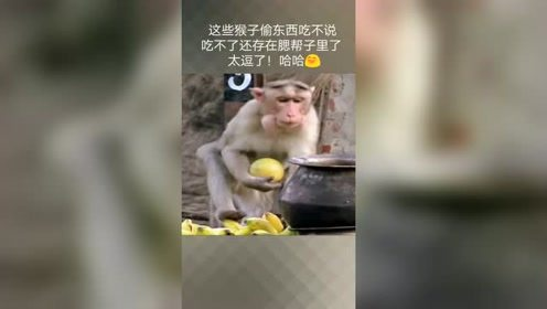 这才叫吃不了兜着走,猴子偷东西吃,还把东西藏在腮帮子里了。