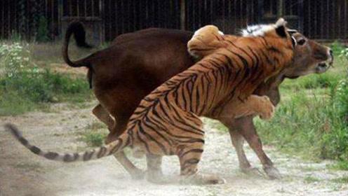 老虎捕杀水牛没人敢上前制止,被路过的黄牛撞见,可要憋住别笑!