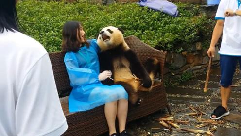 熊猫与游客合影一脸高冷,当来了一位美女后,下秒忍住别笑