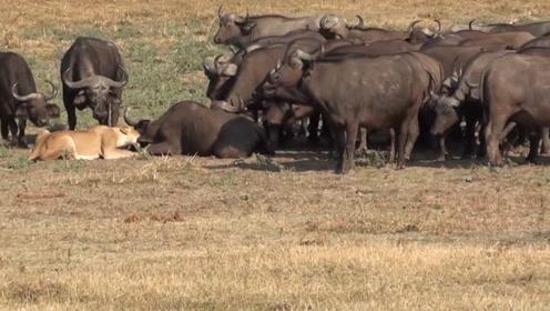 500头野牛找狮子报仇,把狮子吓得立马逃跑,镜头拍下全过程!