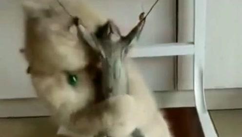 小猫不是一般的坏,这是要把老鼠活活吓死,场面有点血腥!