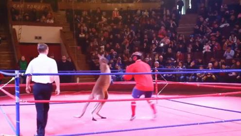当袋鼠和人类打一场拳击比赛,会发生什么?没想到连裁判都躲起来了