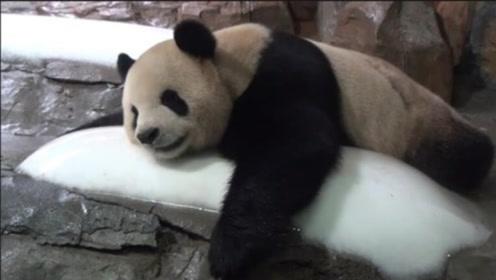 快要热化的熊猫团子抱着冰块不撒手,大熊猫:冰块在哪儿我就在哪