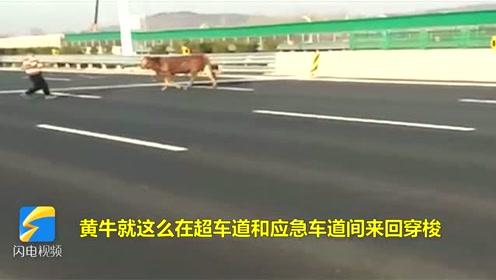 """淄博:太危险了!一只""""牛魔王""""在高速上来回穿梭"""