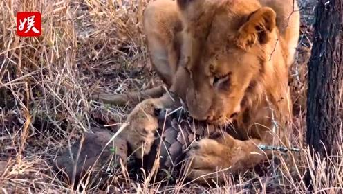穿山甲误闯狮子领地,狮子尽全力却没处下口,网友:免费按摩淋浴