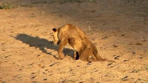后肢瘫痪的狮子幼崽,靠着毅力坚强的活着,母狮依旧不离不弃