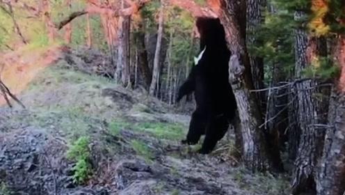贵州发现消失近40年的动物,能像人一样直立行走,在中国很少见