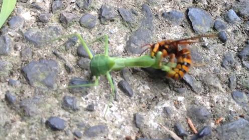 螳螂遇到雀蜂到底谁更强悍?千万别眨眼,镜头拍下全过程