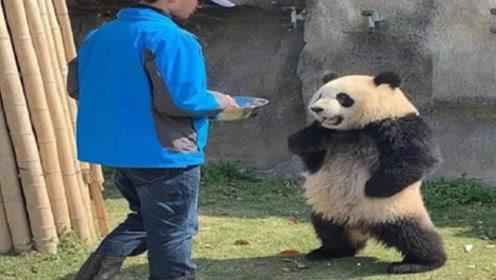 """这只借给荷兰的大熊猫火了:原以为去旅游,想不到是去""""登基"""""""