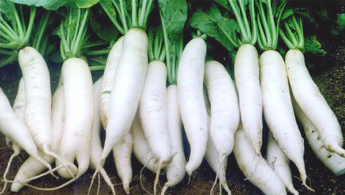 这样的萝卜别买了,白送也不要,多亏种植大户告知,看完提示家人