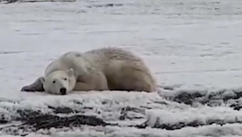 俄罗斯村庄被56只北极熊包围 个个瘦骨嶙峋 村民或将永久撤离