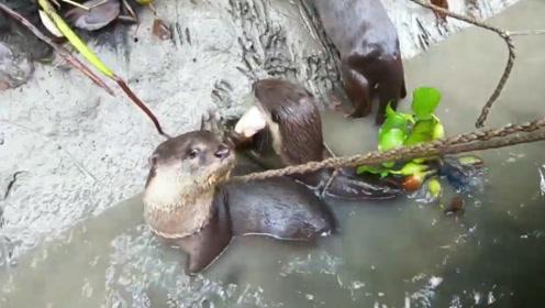 """传说中的""""水猴子"""",被孟加拉渔民训练用来捕鱼,网友:高手!"""
