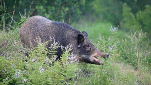 三只野猪落网,在围栏里跑来跑去,试图找机会偷溜