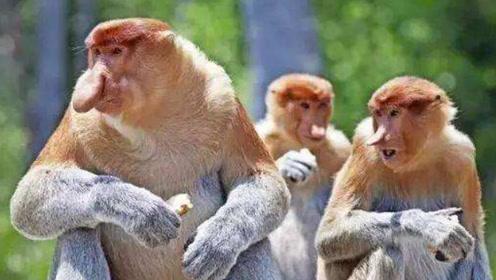 马来西亚国宝之一!猴王配偶成群,拥有男人都羡慕的特殊技能!