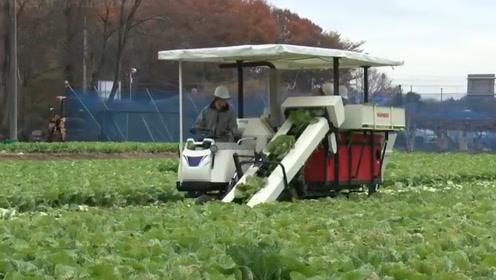 难怪说外国农业先进,种大白菜和收大白菜,开着机器碾压整片农田