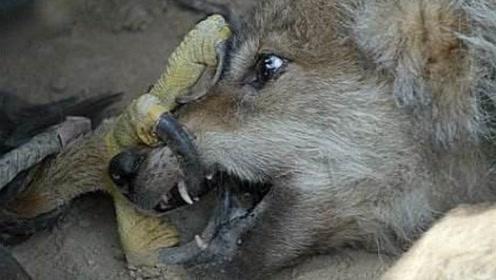狼族的天敌!光听名字就能让凶狠无畏的狼闻风丧胆,专门吃狼