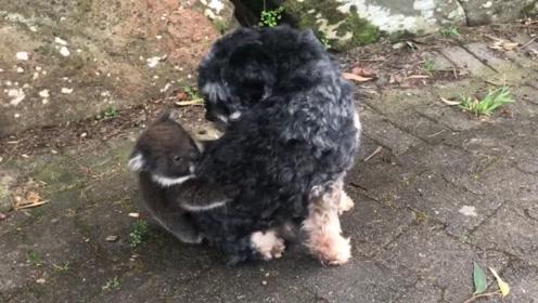 考拉宝宝认错妈妈,挂在狗狗身上不下来,狗:你干啥我可是未婚