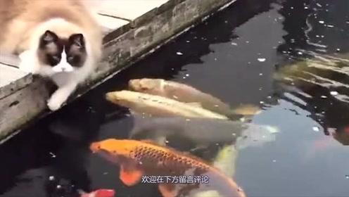 锦鲤以为猫咪是来喂食的,都纷纷靠近,结果下一秒尴尬了!