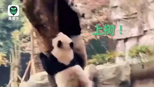 求生欲满分!四川绵阳4.6级地震瞬间 熊猫扔下竹子瞬间上树避险