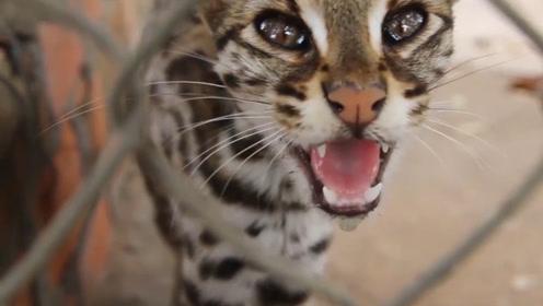 """印度尼西亚的""""死亡动物园"""",老虎瘦成了""""猫"""",体重不到60公斤"""
