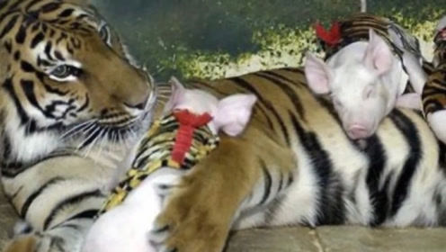 史上最强交换生!小老虎和小猪仔不一样的成长日记