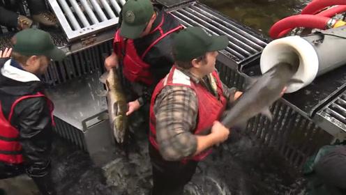 为了让鲑鱼快速产卵,人们让它体验过山车,难道不怕鲑鱼流产吗?