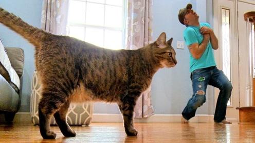 发现主人晕倒了,猫眯最后的表现真让人喷饭