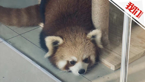 重庆猫咖馆称小熊猫驻店是做科普 林业局:租借展示涉嫌违法