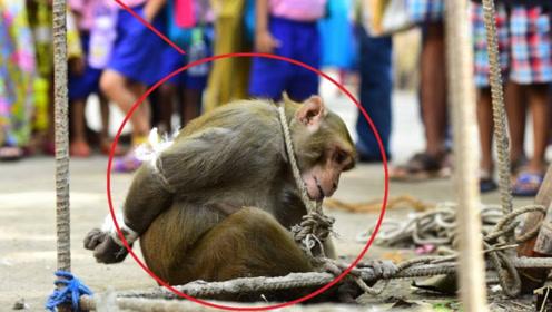 猴子在印度有多惨?在大街上人人喊打,政府:抓一只奖励50元!