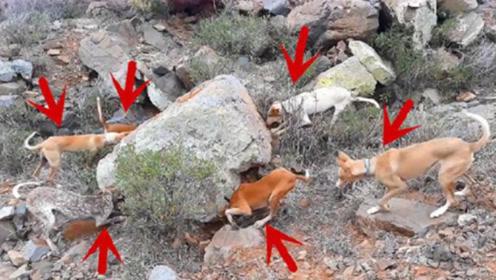 网友带6只狗上山打猎,不料在一块大石头旁,所有狗突然狂吠不止
