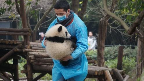 幼年熊猫爬树不慎摔下,饲养员赶紧跑过去接住了