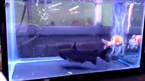 大嘴鲸吞食同体型锦鲤 结果被撑的游不动了