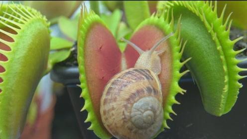 捕蝇草还真是什么都吃,蜗牛都能消化,看着可别眨眼了