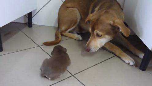 狗妈不愿靠近自己的狗崽,小家伙刚靠近狗妈就躲开,这咋回事?