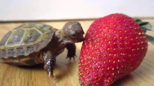 小乌龟动作这么慢,难道吃草莓也慢悠悠?看完解开多年解惑
