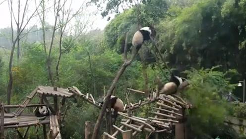 熊猫没有考虑自己的重量,结果把树干爬断了,镜头记录全过程