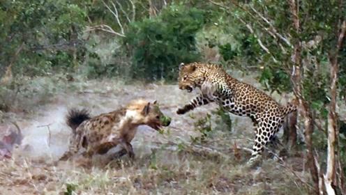 豹子有史以来第一次猎杀并吃掉鬣狗!绝地反杀了一次,真是罕见
