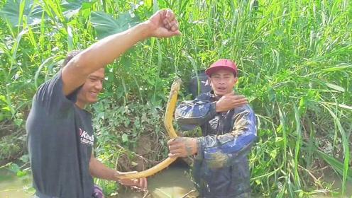 溪边洞穴瞬间拽出棍子般大小的野生黄鳝,看着真是令人激动!