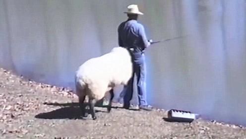 男子正在河边钓鱼,突然被一只羊偷袭,接下来忍住别笑!