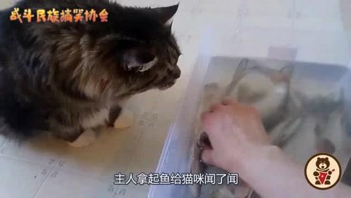 家养的猫,嘴就是刁!主人给的鱼连看都不看一眼