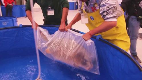 实拍外国锦鲤秀,看这条刚抓获的大肥锦鲤,估计你会瞬间心动