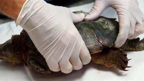 如果乌龟没了龟壳,还能存活吗,科学家残忍掰开龟壳后有了答案!