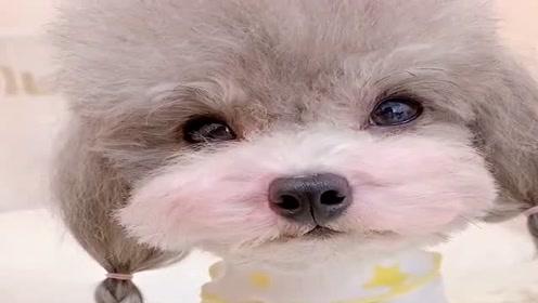 泰迪狗狗文静的样子真是小淑女一枚,小模样太讨人喜欢了,要被萌化了!