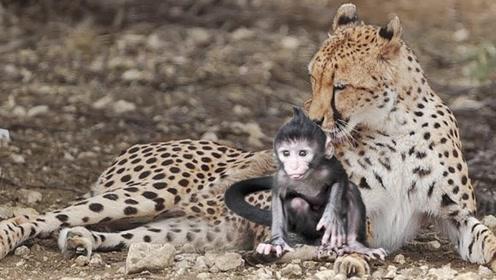 """豹子""""杀死""""母狒狒,发现还有一只小狒狒,画风变得有点奇怪啊"""